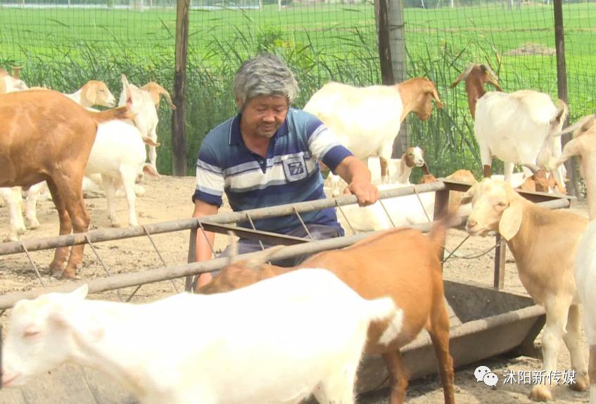 沭阳东小店乡王春俊:牵着山羊走向小康生活