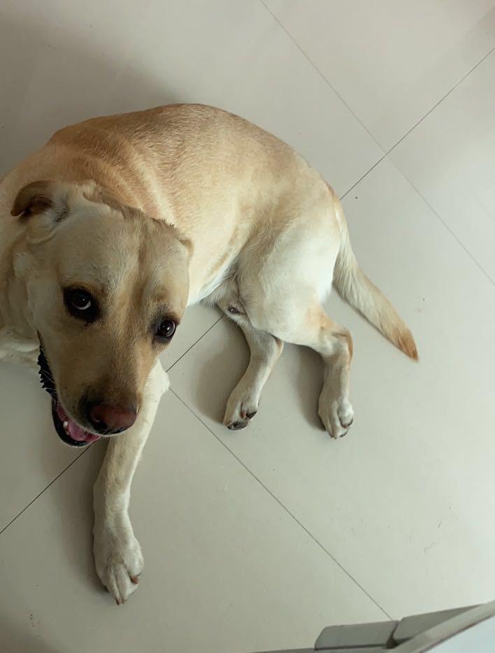 寻狗启事:我养了两年的拉布拉多丢了,求大家帮忙!
