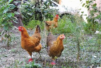 投诉:沭中家属区4号楼底有人养鸡,臭死了不敢开窗!小区办:已处理4只!