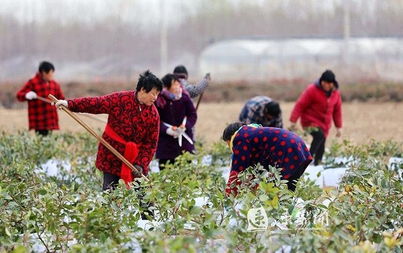 沭阳钱集栽植红叶石楠苗!先后流转土地1.8万亩!带动2000余名劳动力!
