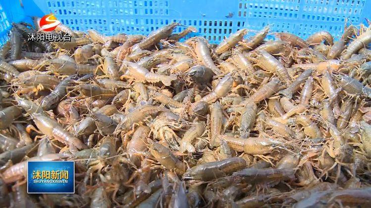供不应求!沭阳吴集1600多亩养殖基地清水母龙虾开始上市,批发价每斤25元